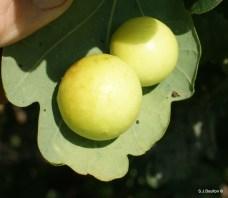 Cherry Gall