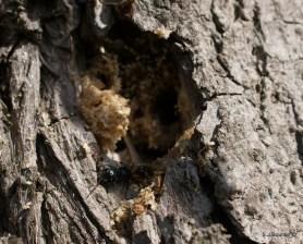 Pemphredon sp next to its burrow