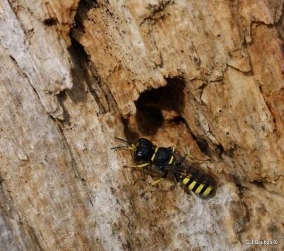 Ectemnius sp of wasp