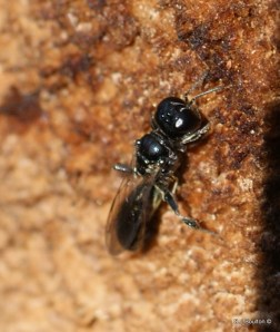 Crossocerus sp of wood wasp