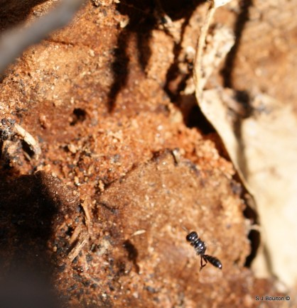 Crossocerus sp of wood wasp flying to its wood worm hole home