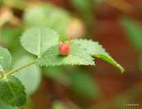 Spiked Pea Gall (Diplolepis nervosus)