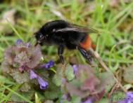 Bombus lapidarius (red tailed bumblebee)