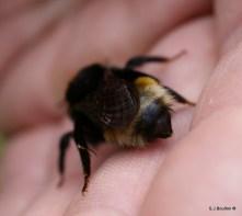 rear markings of a Bombus vistalis (southern cuckoo bumblebee)