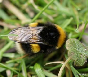 Bombus lucorum (white tailed bumblebee)