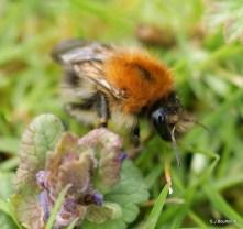 Bombus pascuorum (common carder bee)