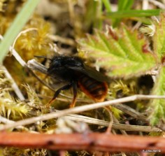 Osmia bicolor moving stems which she covers her shell nest with