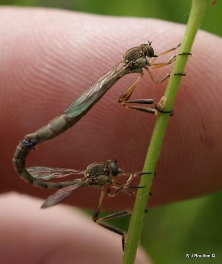 Leptogaster sp of robberfly