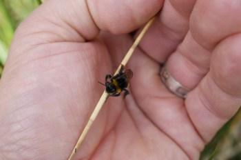 Small Bombus terrestris worker