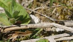 osmia spinulosa