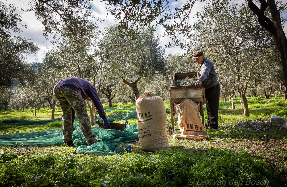 olivepicking
