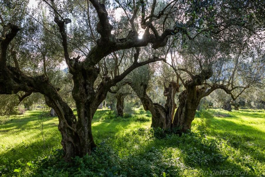 Fotoreis Reportagefotografie over olijfpluk Peloponnesos
