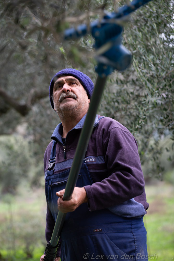 Oogsten van olijven met een elektrische hark
