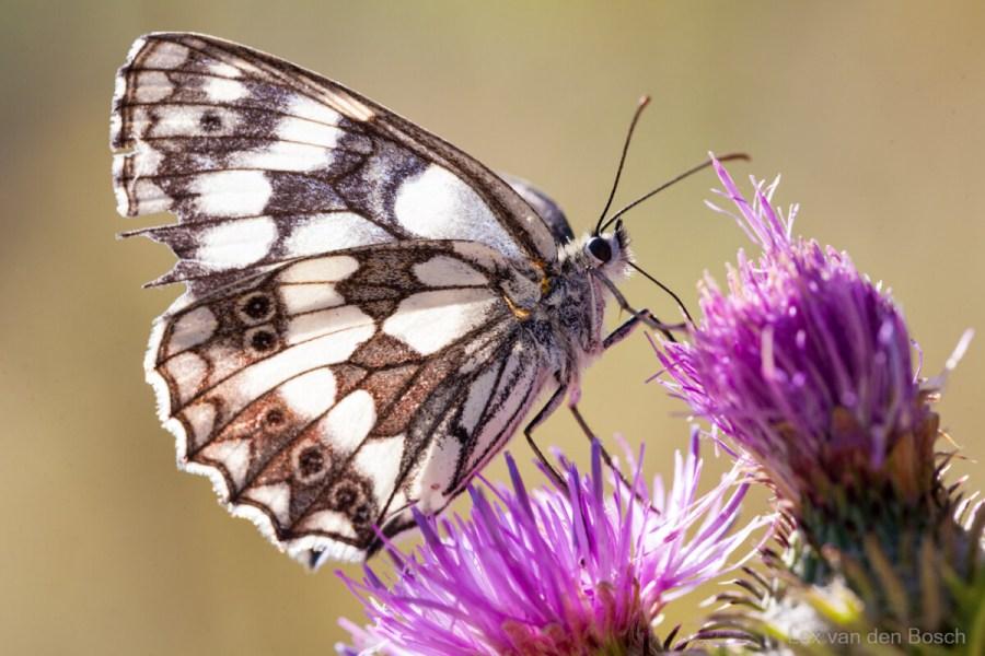 Vlinders en bloemen zijn geliefde onderwerpen in de macrofotografie, hier een dambordvlinder op een distel
