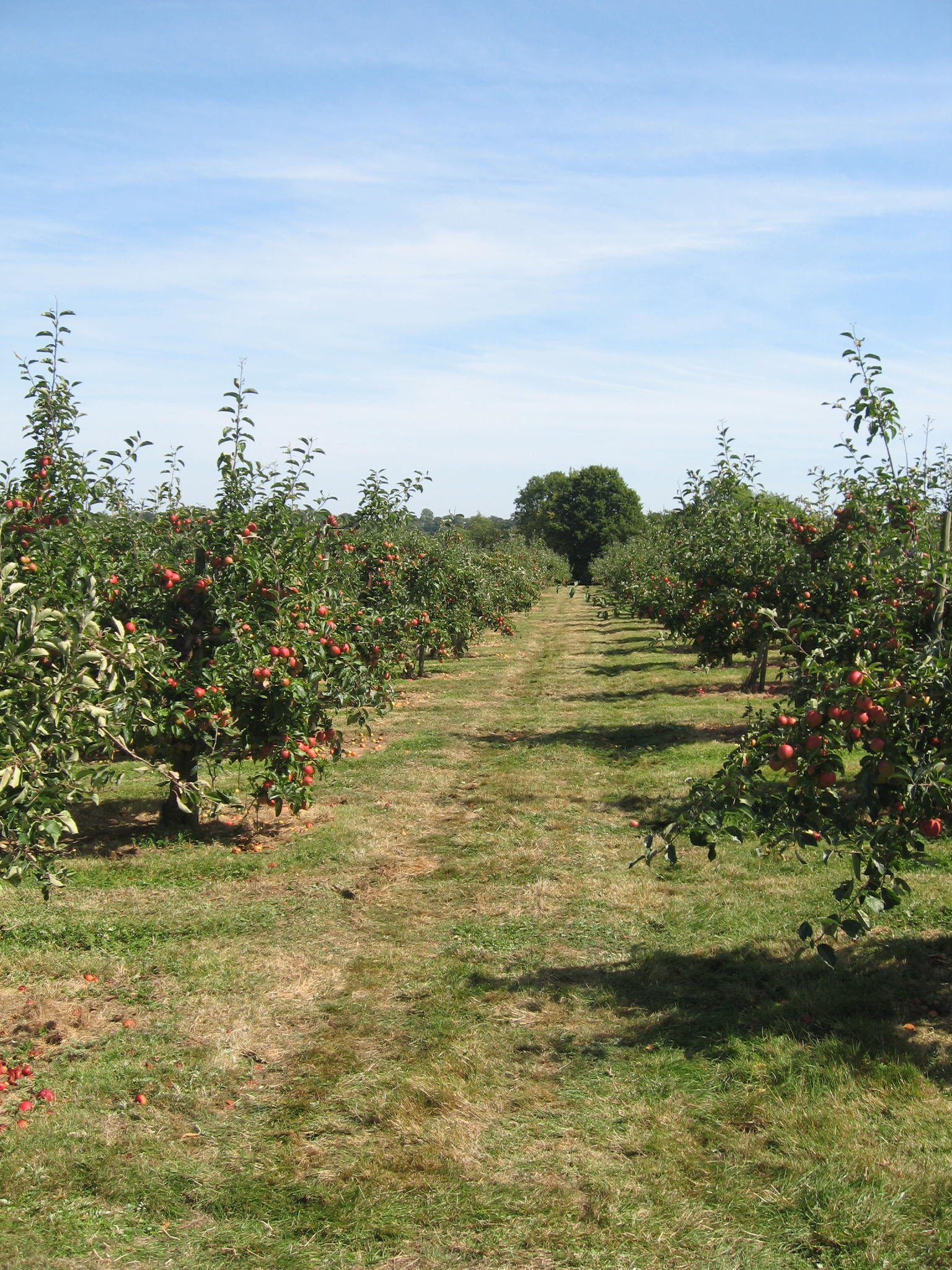 Avenue of Apple Trees in an Orchard