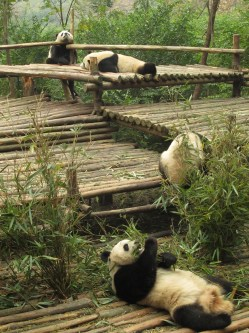 14 - Chengdu - Giant panda breeding center