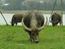 27 - Huè - buffalos