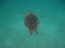 Perhentian islands - snorkelling with giant turtles