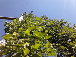 Well-established plants can produce 16-20 ounces of dried hops per plant!