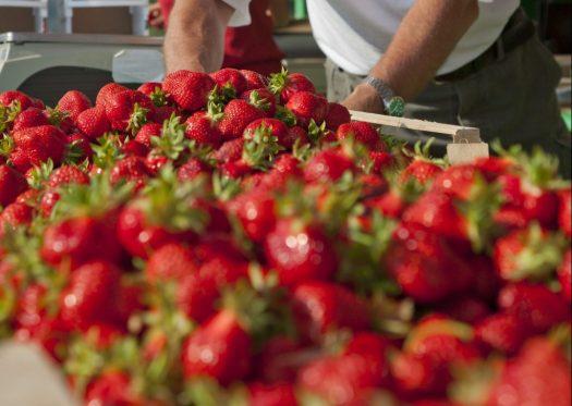 Wolfgang Offenbeck wiegt die Erdbeeren ab