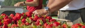 Wolfgang Offenbeck beim Abwiegen der Erdbeeren