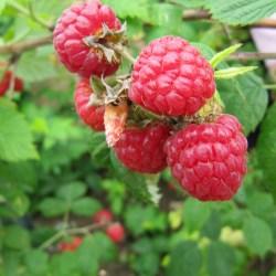 raspberries-571789_1280