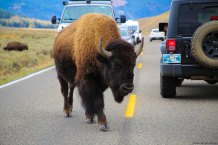 Bison don't give a shit. They go where they want.