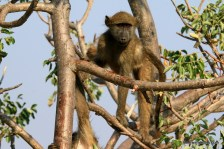 young baboon in tree