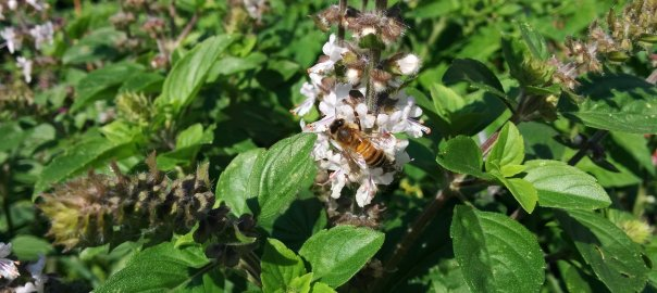 Honey bee on basil