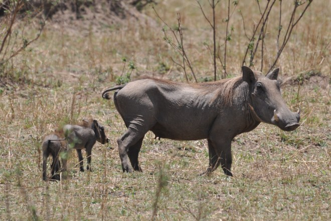 Female_warthog_with_young