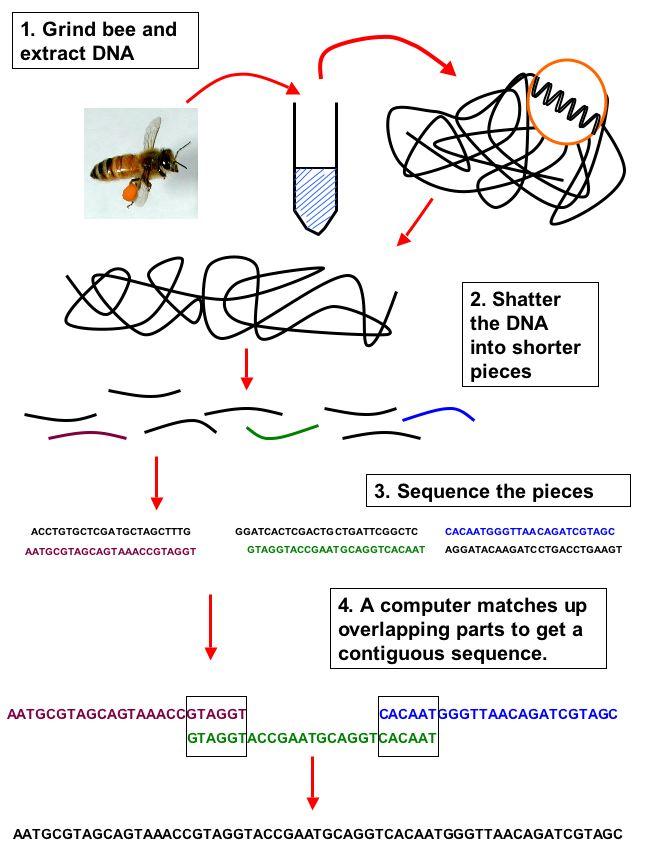 diagram van hoe een genoom gesequenced