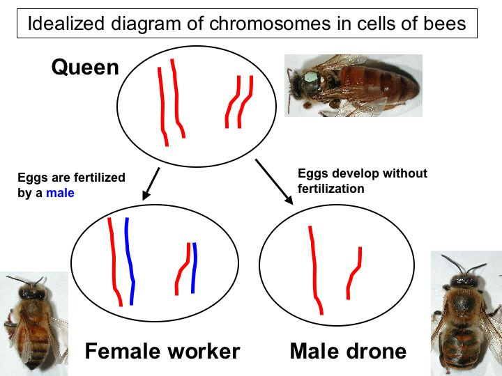 diagram van chromosomen in honing bijen