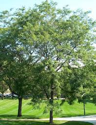Mature Honey Locust