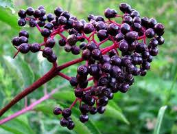 Eldeberry Fruit