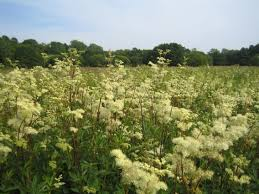 Meadowsweet Flower