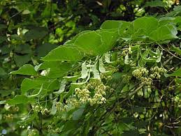 Basswood in Bloom