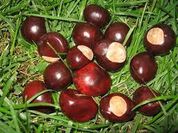 Ohio Buckeye Nuts