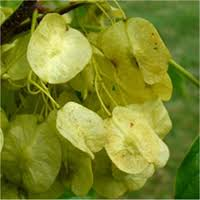 Hop Fruit/Seed
