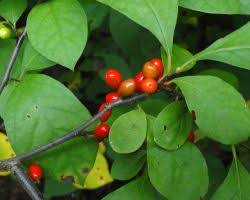 Female Spicebush Berries