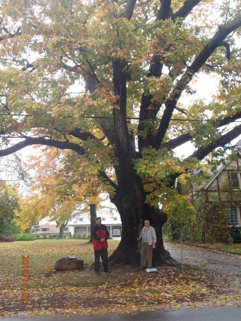 Treaty Tree