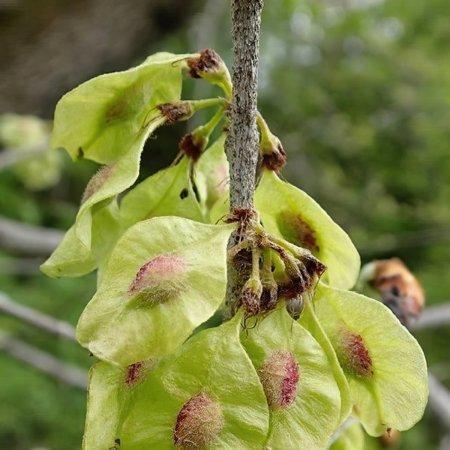 Slippery Elm Seeds