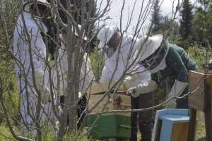 Community learning, opening Jo and Chris' Warré hive.