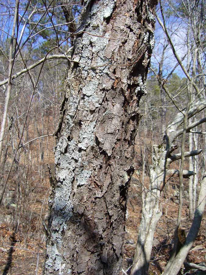 Betula nigra - old bark