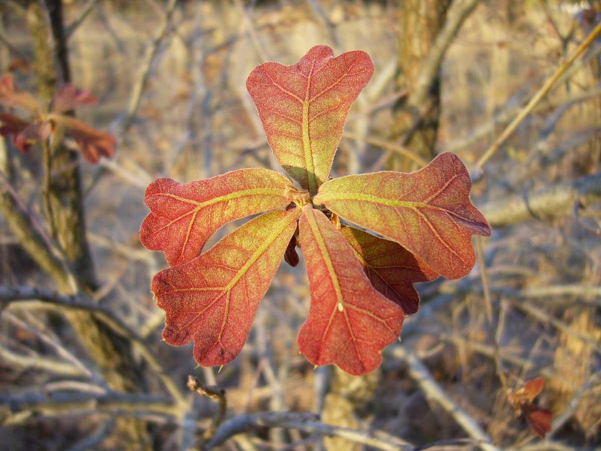 Quercus_marilandica_P1020923_2