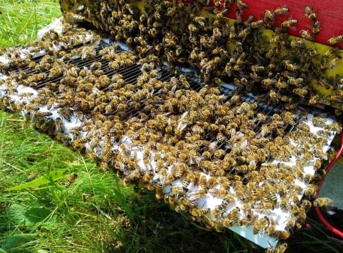 bee-venom-collecting