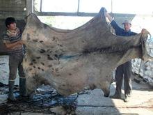 wet-salted-donkey-hides-donkey-hides-dry-jpg_220x220