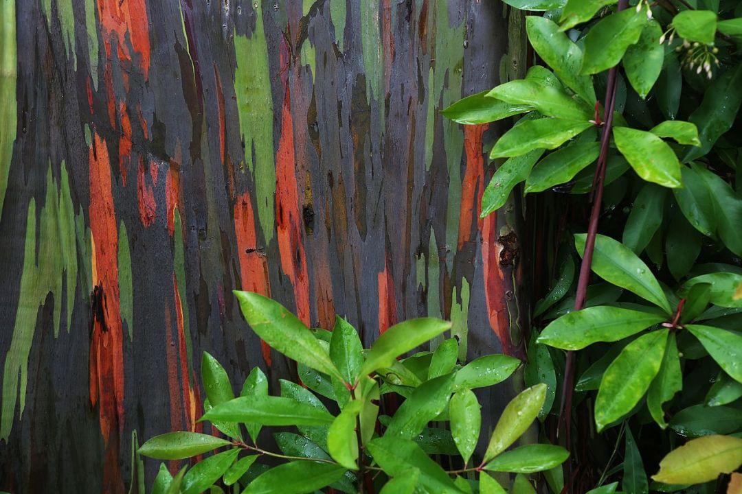Rainbow_Eucalyptus_Maui