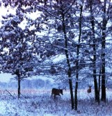 Trees lined with snow and two majestic bucks