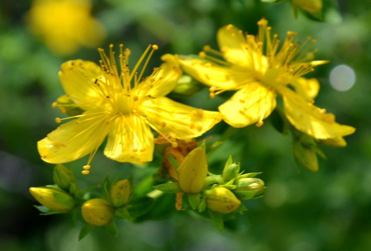 Johanniskraut verarbeiten – ein Highlight des Sommers
