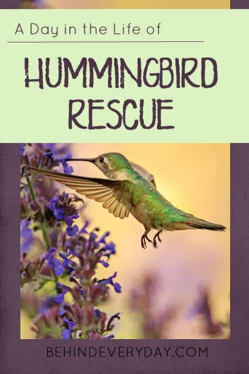 fastest things on wings hummingbird rescue pinterest